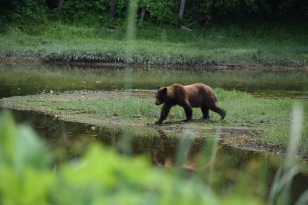 Brown bear stroll