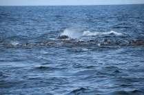 whale-head