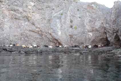 agua-verde-goats