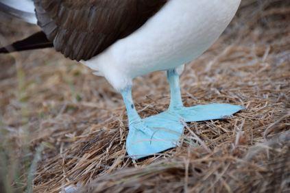 Boobie's blue feet