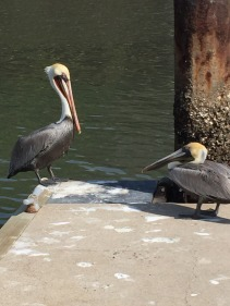 Dockside pelicans