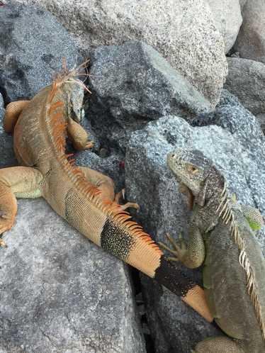 Marina iguanas