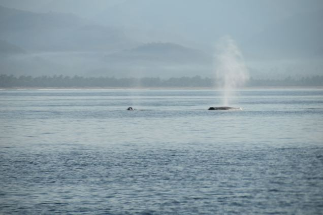 Whales in Tenacatita