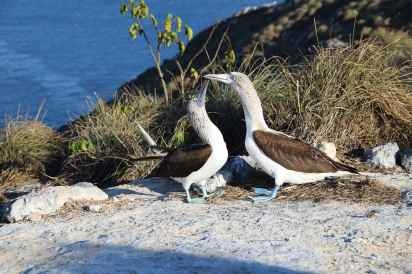 Blue-footed boobies in Mexico