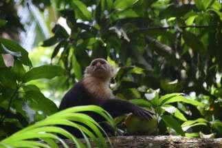 Curu Capuchin