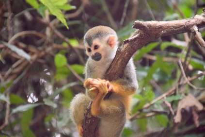 Squirrel monkey #2