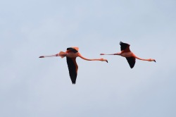 Flamingo form flight