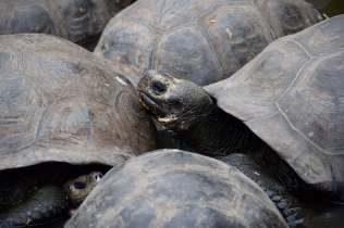 Tortoise traffic jam