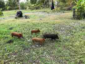 Hirifa piglets